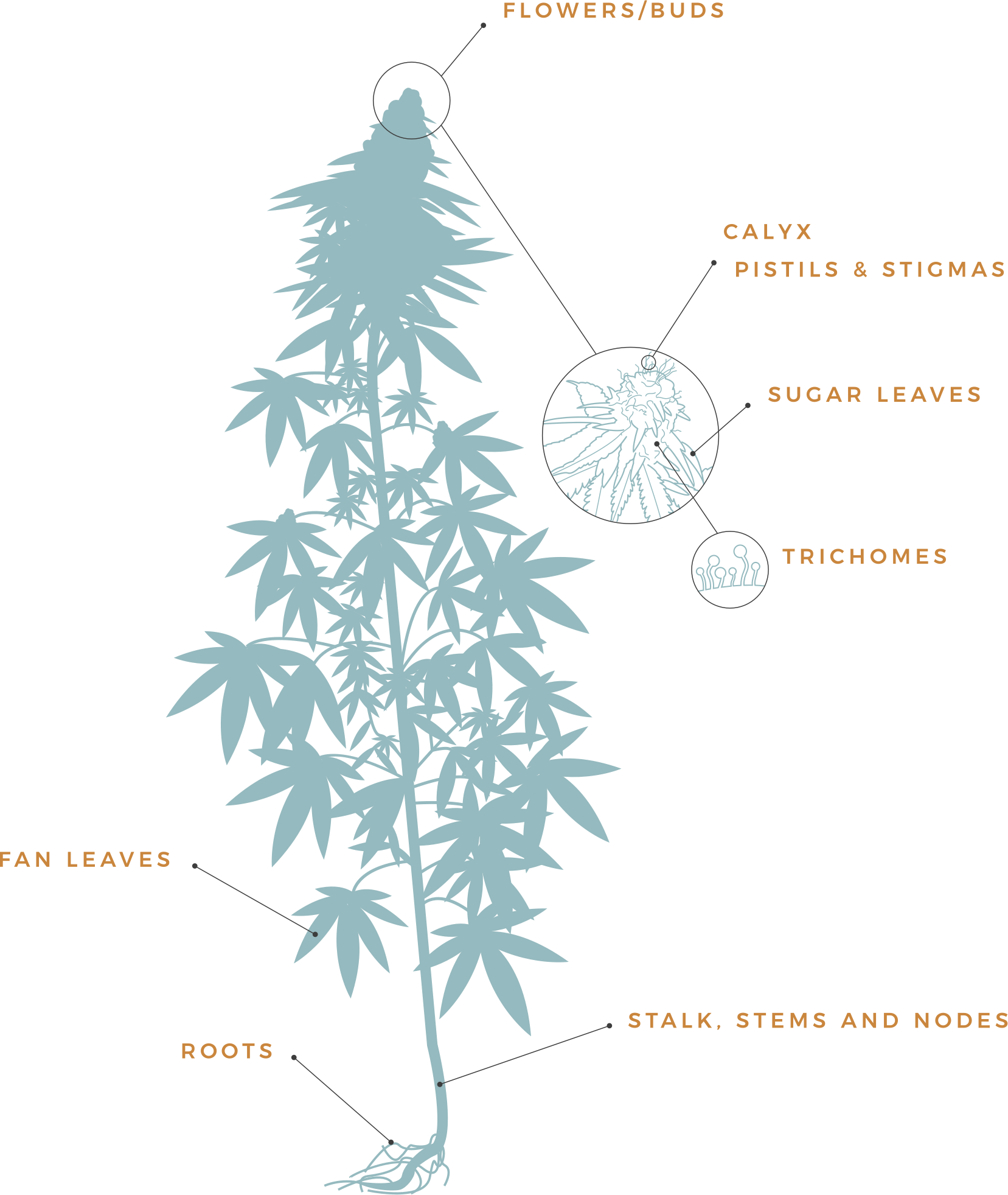 Introduction to Cannabis: Anatomy of a Plant