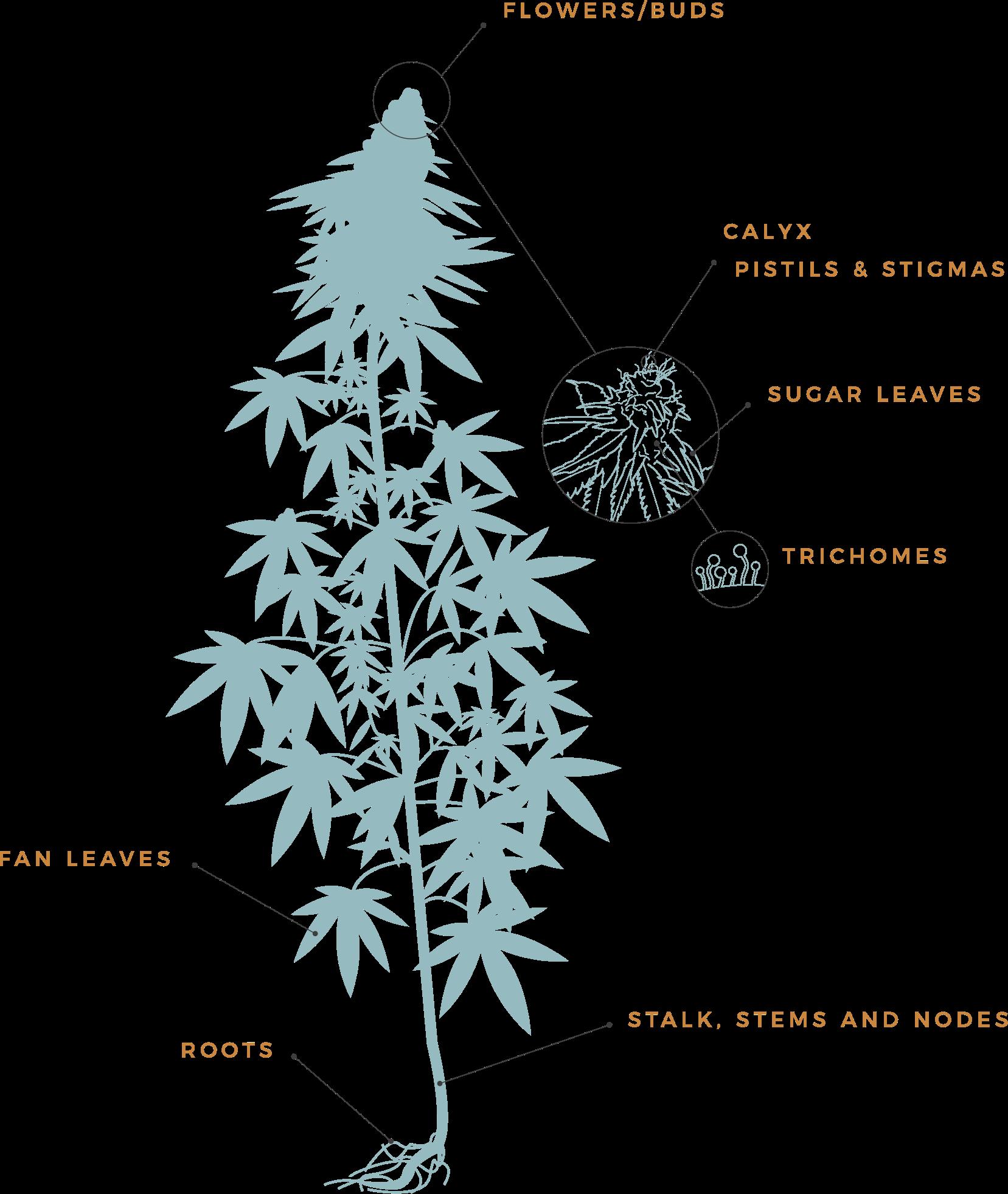 stalk, stems, and nodes